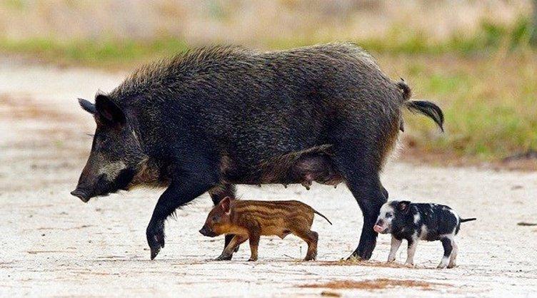 Feral Hogs